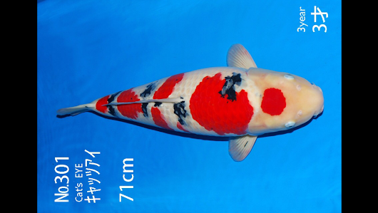 Marugen koi farm japanese koi fish farm offering quality for Sakai koi for sale