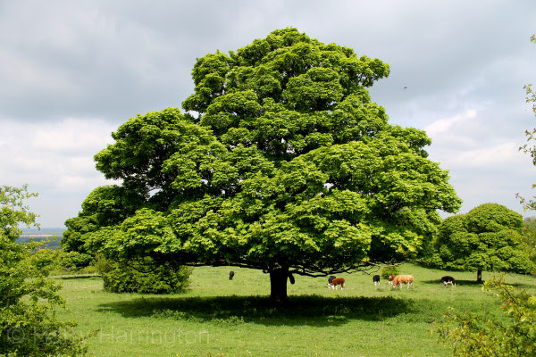 Bonsai Species Guides: Acer campestre/Field Maple