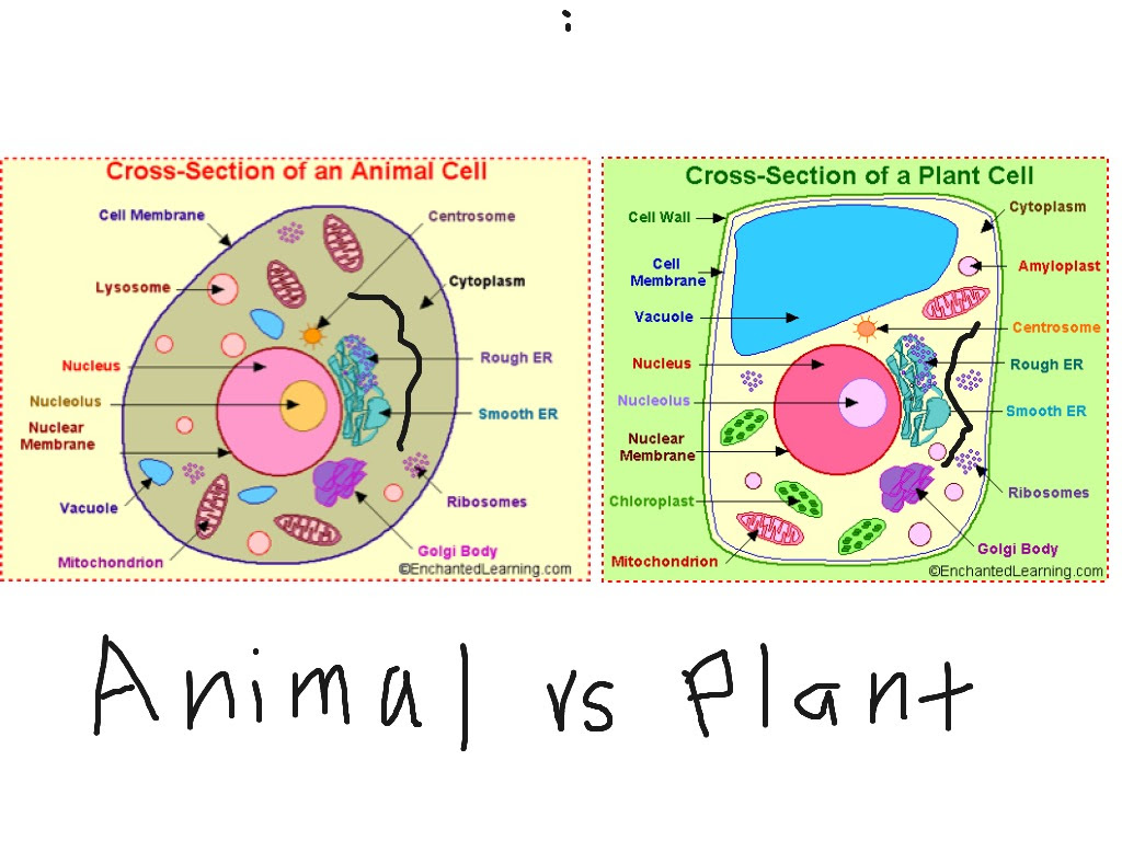simple plant cell drawing 60