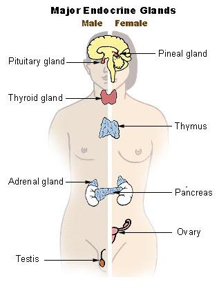 endocrine 8