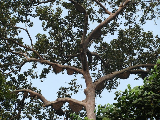 Proses Pengolahan Madu Pohon Sialang
