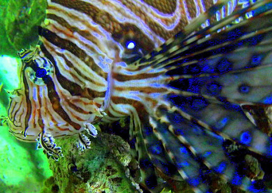 Lionfish I by Rebecca West