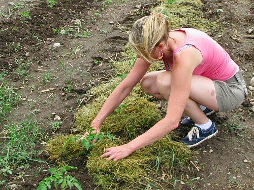Acolchado vegetal que se coloca sobre las plantas para proteger la tierra