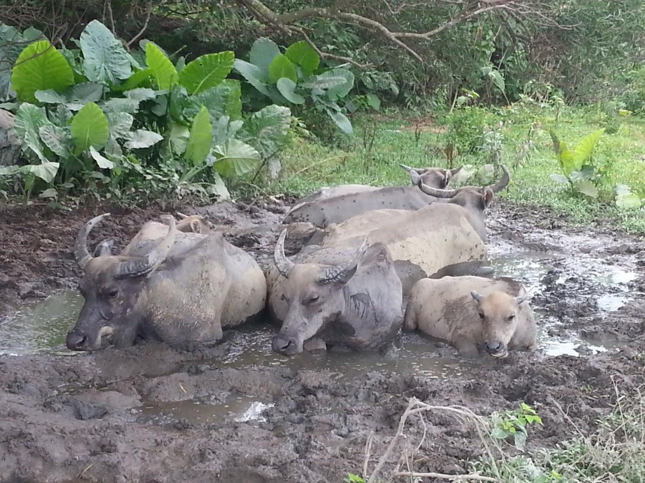 水牛之所以喜愛挖洞,是因為牠們愛在夏天時躺在沼澤中,泡浸日光浴藉以散熱及驅走身上的蚊蟲