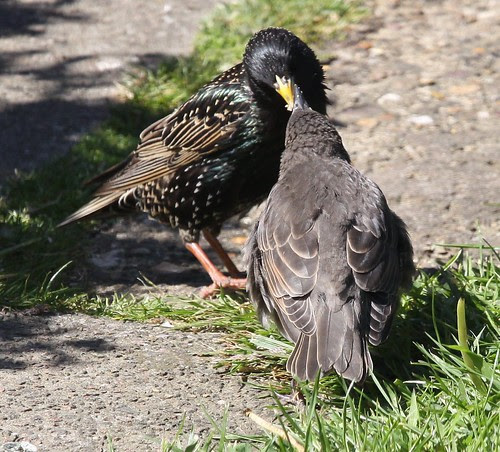 Starling feeding Young