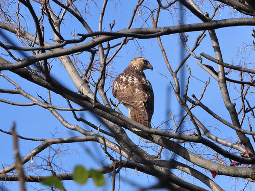 Juvie Red-Tail in Riverside Park