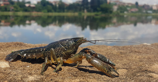 This Mutant Crayfish Clones Itself, and It's Taking Over Europe - The New York Times