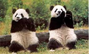 pandas clapping