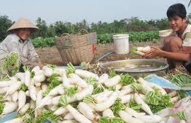 Thu hoạch củ cải