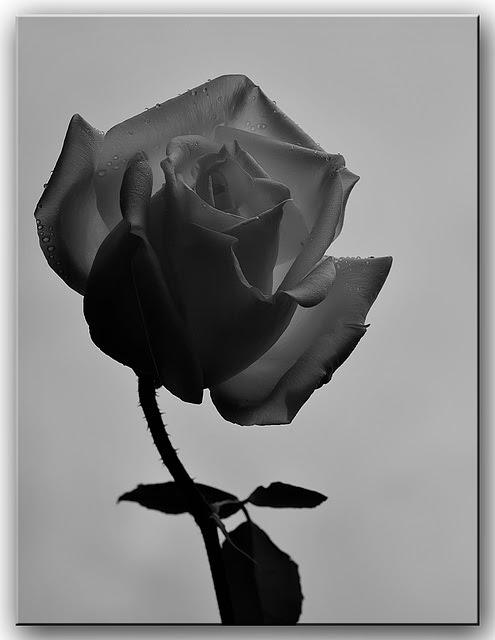 Ipernity Rosa En Blanco Y Negro By Cantavieja