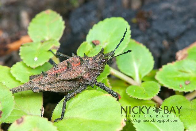 Grasshopper (Caelifera) - DSC_2764