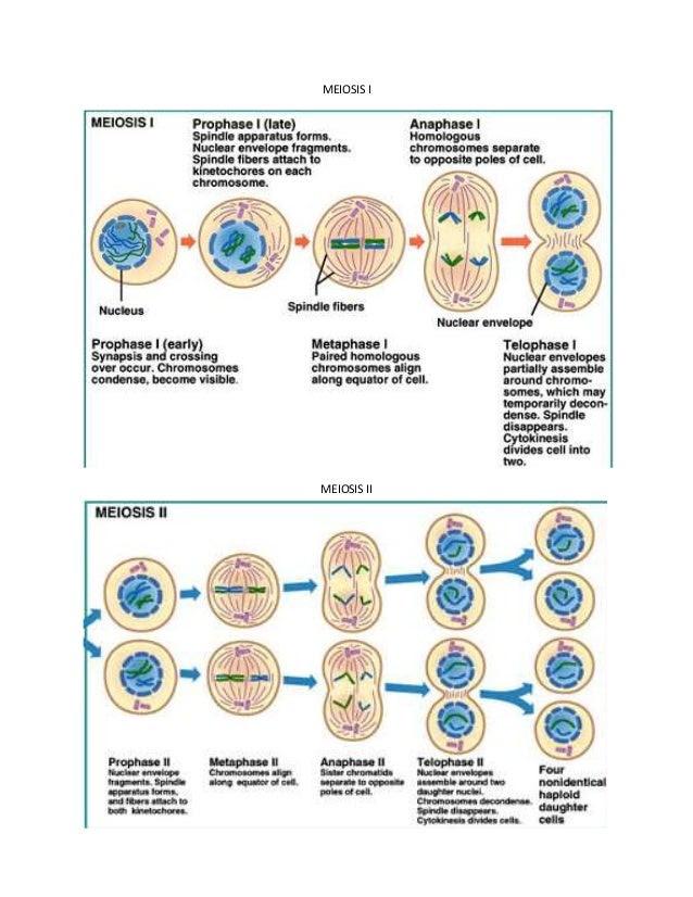 mitosis meiosis diagram 2 638