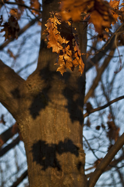 remaining oak leavess