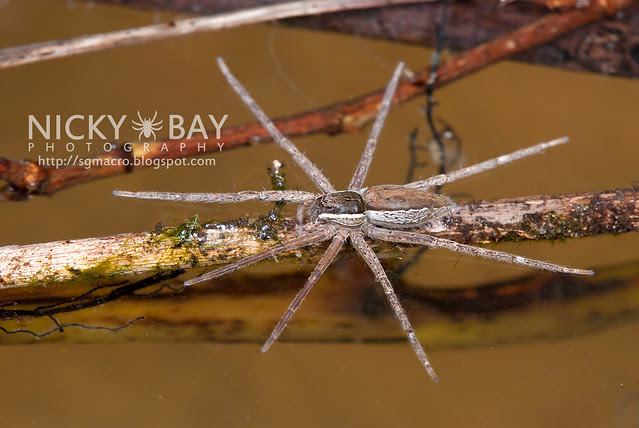Fishing Spider (Nilus sp.) - DSC_3293