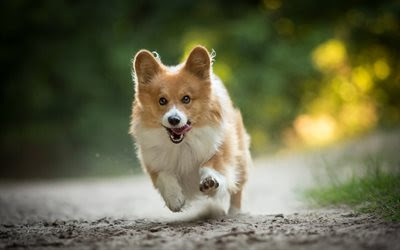Download wallpapers Welsh Corgi, running fluffy dog, forest, cute animals, dogs, pets besthqwallpapers.com