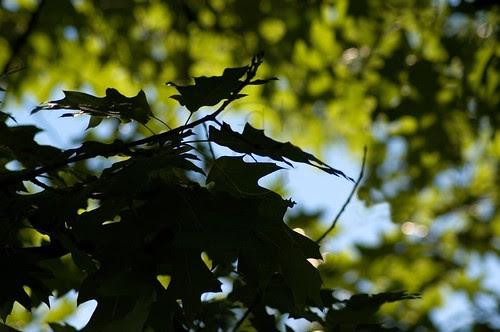 Orillia - Dark Leaves; oak leaves in shadow