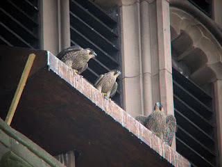 Three chicks in 2006 getting ready to fledge. We're all asking when fledging day will be this year!