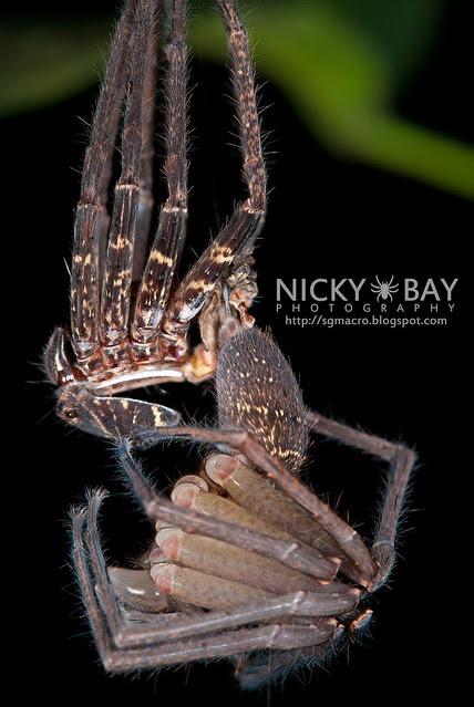 Huntsman Spider moulting (Sparassidae) - ESC_0066