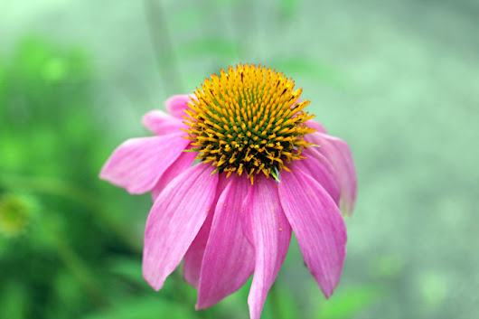 Purple Coneflower: MDJSP - Traveling Gishi
