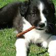 10 Week Old Border Collie Puppy Question | Border Collie Help