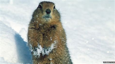 Arctic ground squirrels unlock permafrost carbon   BBC News