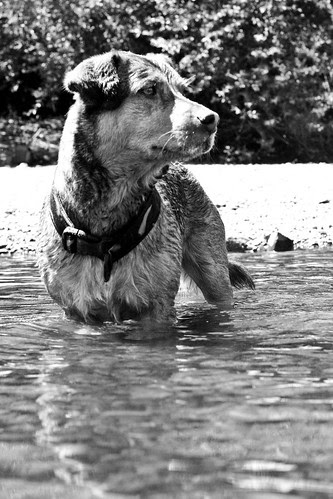 "276. ""In Black and White"" Take a black and white photo of your dog today. Feel free to take creative liberties! - last day Aug 8"