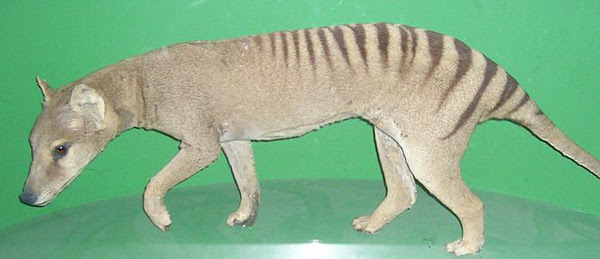 A specimen of the Tasmanian tiger in the Natural History Museum at Oslo, Norway. Photo by: L. Shyamal.