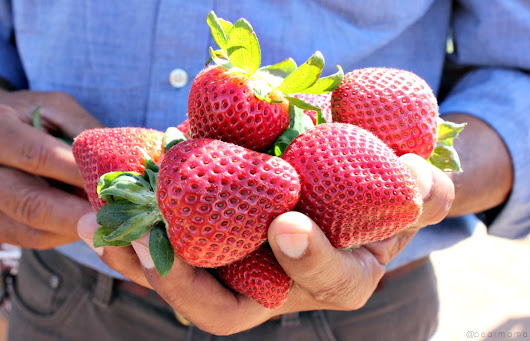 Deliciously sweet: California strawberries | Pearmama