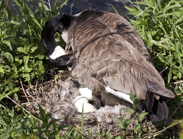 3 mama gooseplucking feathers