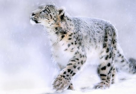 Snow Leopard Painting Cats Animals Background Wallpapers On Desktop Nexus Image 1097588