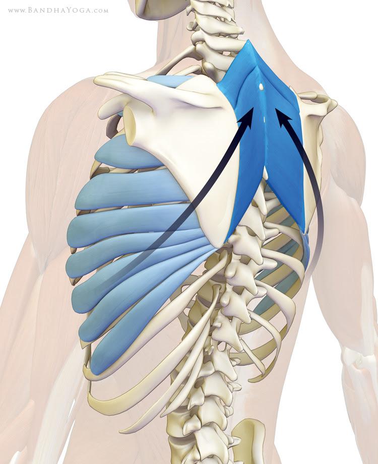 rhomboids and serratus anterior open the chest