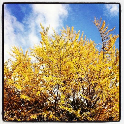 Golden leaves at Waseda