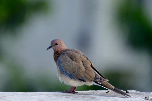 Bird Photography…The Laughing Dove