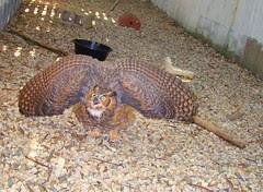 Peacock Owl