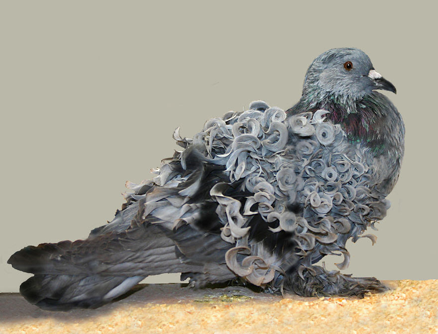 Pigeon With Curls