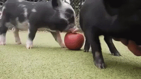 Pig GIF - Find & Share on GIPHY