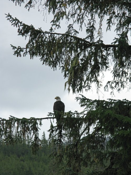 bald eagle on a tree limb, Tolstoi Bay, Alaska