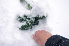 digging for kale