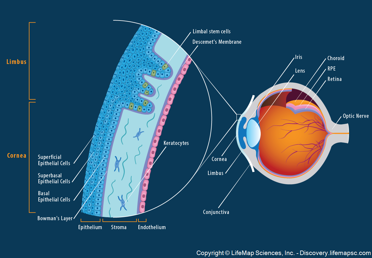 The_Anatomy_and_Structure_of_the_Adult_Human_Cornea