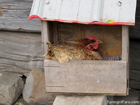 (28-26) Lokey the wonder hen is still broody after several weeks, despite our stealing the eggs out from under her every day - FarmgirlFare.com