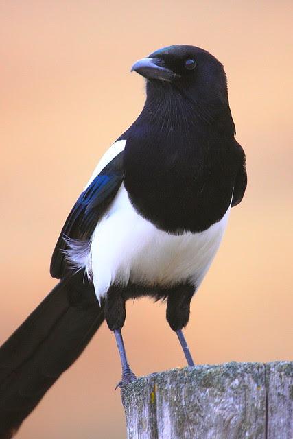 IMG_8105 Black-Billed Magpie