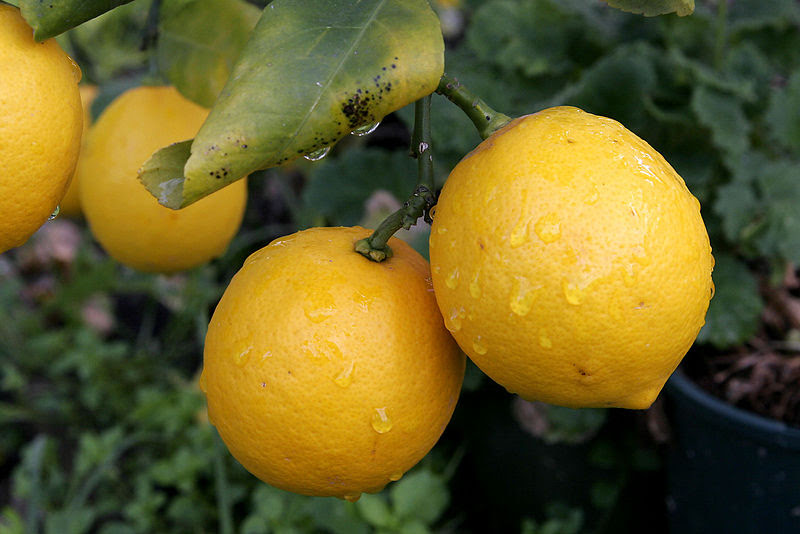 File:Pair of lemons.jpg