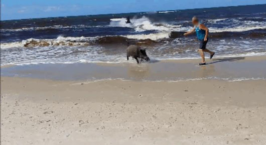 Boar Emerges From The Ocean, Starts A Rampage On Beach - Digg