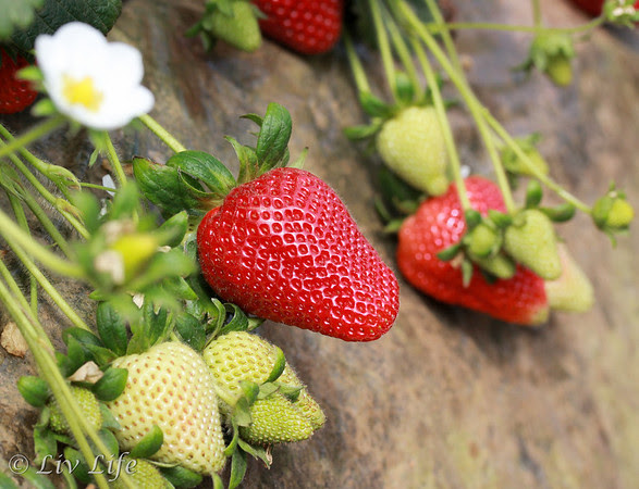 Strawberry growing in a California Strawberry Field