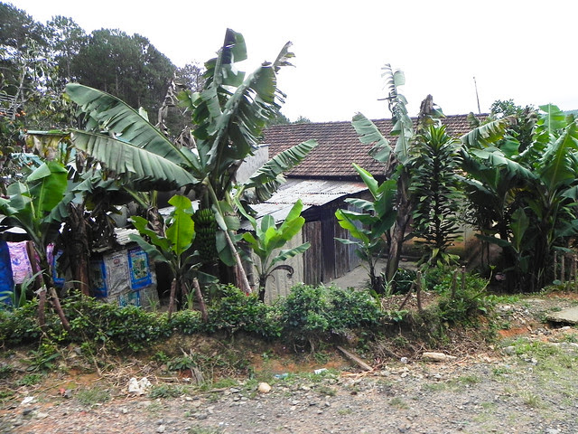 Banana plants by the roadside