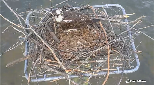 EarthCam Launches Live Webcam Views of Osprey Nest on Lake Norman