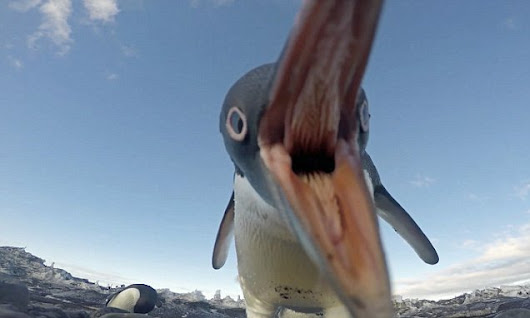 Playful penguins try to steal 'hidden' cameras