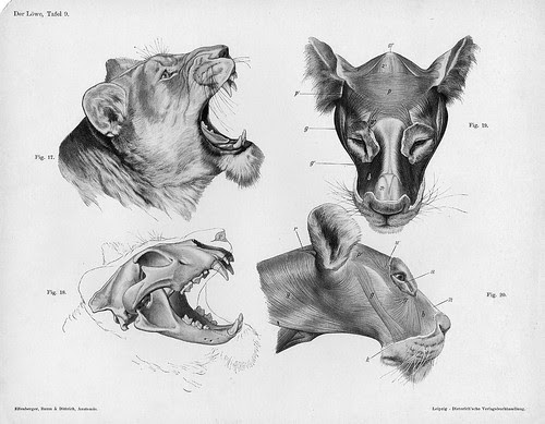 lion head anatomy views