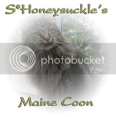 S*Honeysuckle's Maine Coon!
