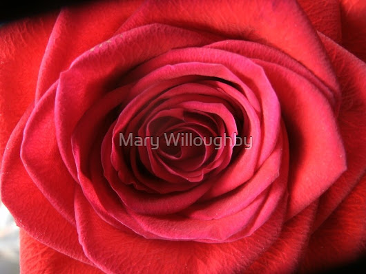 'Crimson Rose'  by Marywilloughby